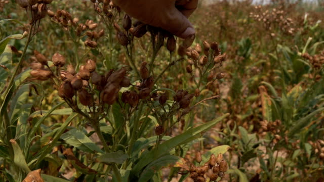 Harvesting tobacco seed,Slow motion video