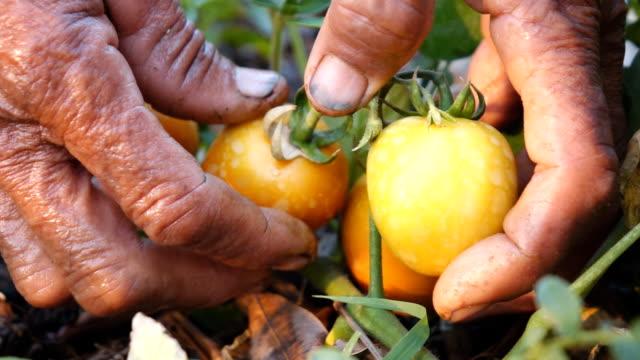 Harvesting tomato in plant,Slow motion video