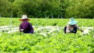 Harvesting vegetable video
