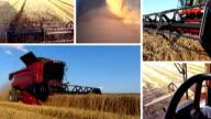 Harvesting Wheat Multiscreen video