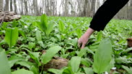 harvesting wild garlic (Allium ursinum) video