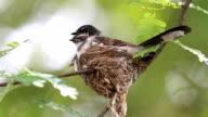 Hatch of pied fantail bird video