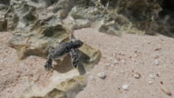 Hatched baby sea turtle on the beach, Japan video