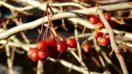 Haw berries video