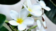 Hawaiian Plumeria flowers video