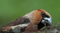 Hawfinches eating seeds under forest summer rain, Coccothraustes coccothraustes video