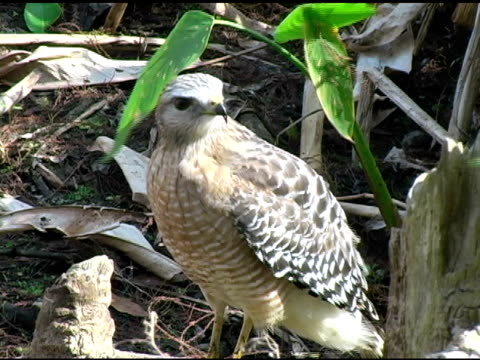 Hawk 2 NTSC video