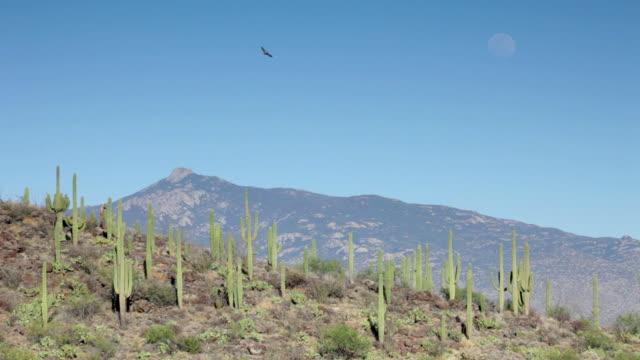 Hawk and moon over Saguaro National Park mountains Arizona video