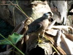Hawk with Fish in Claw NTSC video