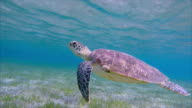 Hawksbill sea turtle grazing on seagrass bed / Marsa Alam video