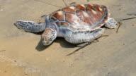 Hawksbill sea turtle release to the Andaman sea in Phuket island video