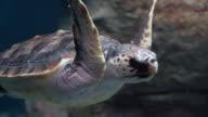 Hawksbill sea turtle swimming in ocean video