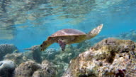 Hawksbill sea turtle swimming on coral reef - Maldives video