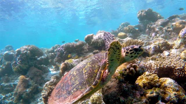 Hawksbill sea turtle swimming on coral reef video