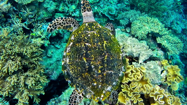 Hawksbill sea turtle swimming over hard and soft coral reef in the Raja Ampat Kri island, West Papua, Indonesia video
