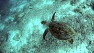 Hawksbill sea turtle underwater, swimming over coral reef video