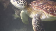 Hawksbill sea turtle video