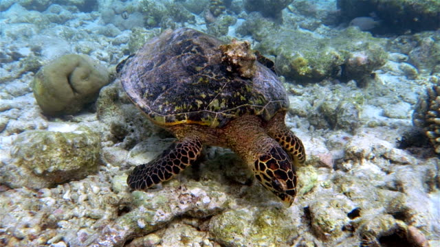 Hawksbill turtle with Seashell on coral reef - Maldives video