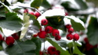 hawthorn berries in the snow 6 video