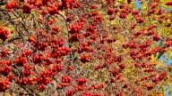 Hawthorn branch video