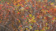 Hawthorn bush with berries in autumn video