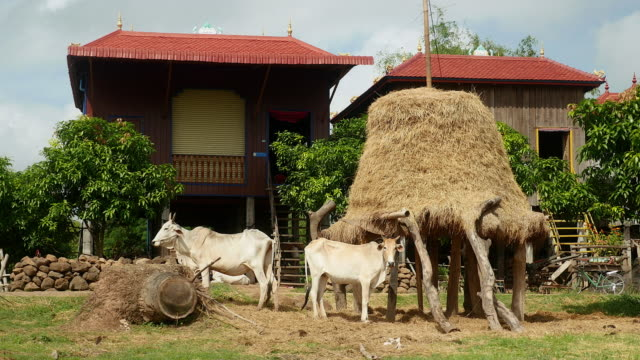 Haystack on stilts in front a traditional wooden stilt-house video