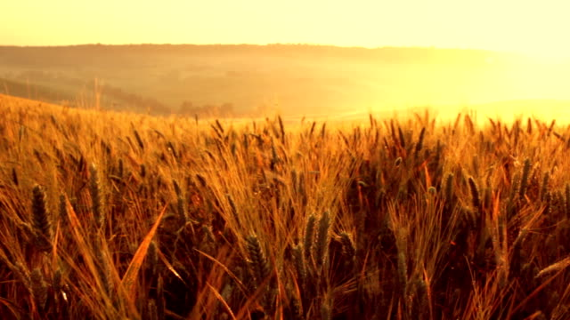 hd video outdoor italy tuscany wheat field at sunrise panning video