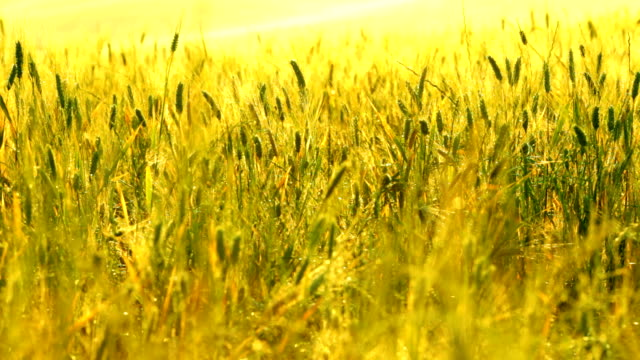hd video young wheat field toned on yellow and green video
