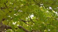 HD1080i : Green leaves video
