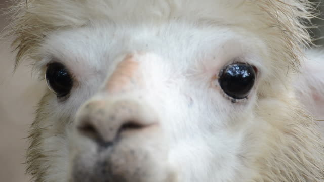 HD:Alpaca close-up in south africa video