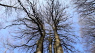 HD:Bare trees from below video