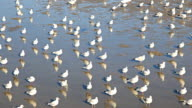 HD:Birds on the stand and feed in the shallow waters. video