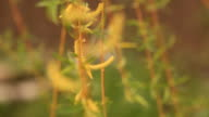 HD:Blooming Catkin. video
