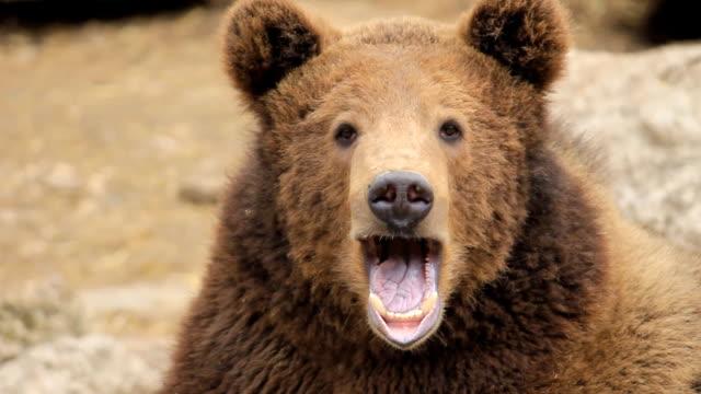 HD:Brown Bear Portrait video