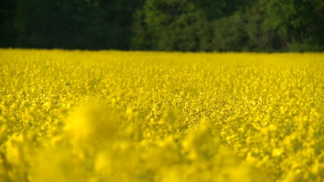 HD:Canola. Bright yellow field. video