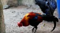 HD:Chicken in nature. video