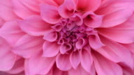 HD:Close up pink Dahlia flower video