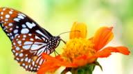 HD:Closeup beautiful butterfly. video