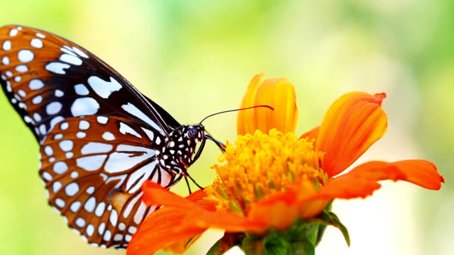 HD:Closeup beautiful butterfly. video