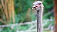 HD:Close-up Male Ostrich Portrait - struthio camelus. video