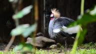 HD:crowned crane in wildlife sanctuary video