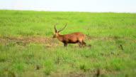 HD:Deer in the nature video