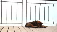 HD:Dog lying in the street video