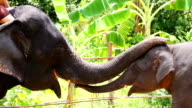 HD:Elephant greeting with trunk. video