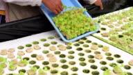 HD:Farmers preparing organic hydroponic green leaf lettuce vegetables plantation in aquaponics system. video