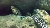 HD:Giant Moray video