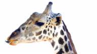HD:Giraffe head isolate on white. video