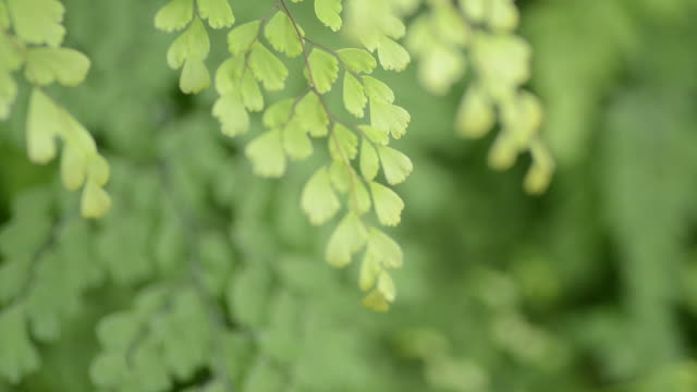 HD:Green fern fresh leaf in nature video