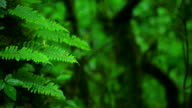 HD:Green fern in nature.(Panning shot) video