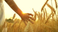 HD:Hand of young woman in summer sunset at wheat field. video